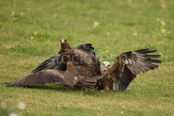 Black Kites Stock photo © scooperdigital