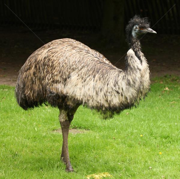 Stock photo: Emu