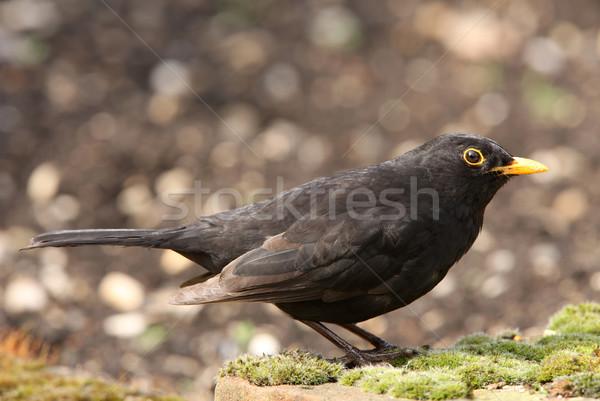 クロウタドリ 肖像 男性 春 庭園 鳥 ストックフォト © scooperdigital