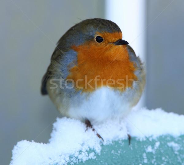 портрет груди зима Перу красный Рождества Сток-фото © scooperdigital