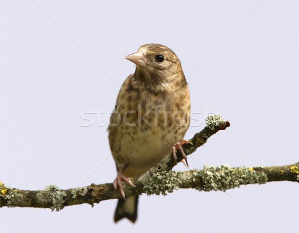 портрет молодые саду птица филиала изолированный Сток-фото © scooperdigital