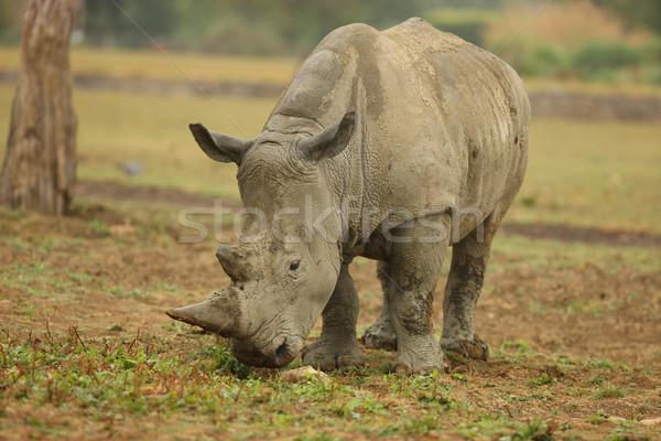 White Rhino Stock photo © scooperdigital