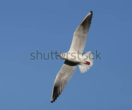 Stock photo: Herring Gull