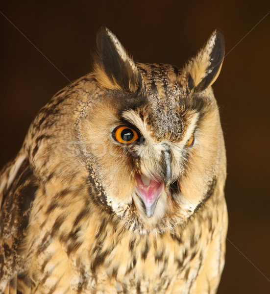 Long Eared Owl Stock photo © scooperdigital