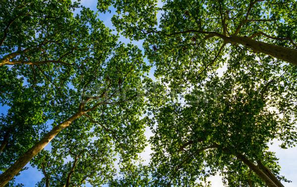 солнце деревья красочный Лучи парка Сток-фото © sdecoret