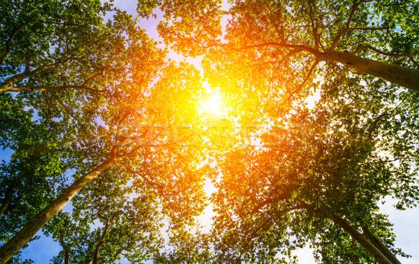 Sun ray through the trees Stock photo © sdecoret