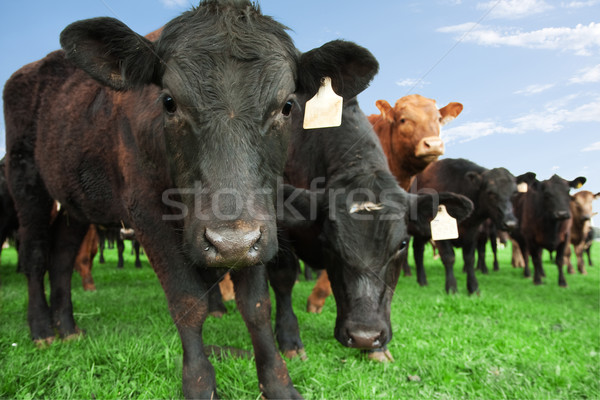 Beef cattle on farm Stock photo © sdenness