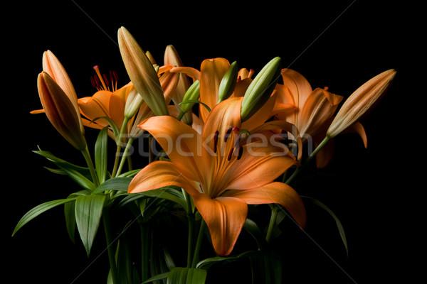 Tigris liliom virág egyezség narancs izolált Stock fotó © sdenness