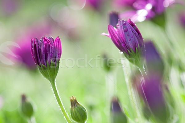 Hosszú lila rózsaszín százszorszépek vízcseppek virágok Stock fotó © sdenness