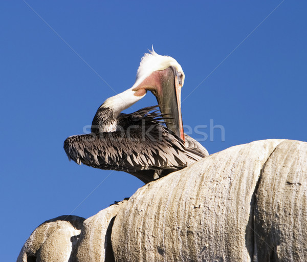 California Brown Pelican Stock photo © searagen