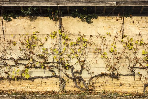 Wijnstok muur tuin vorm wijnstok Stockfoto © searagen