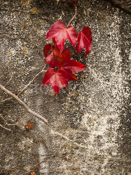 Fall Color On Red Ivy Leaf Stock photo © searagen