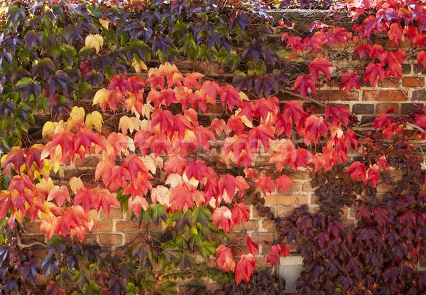 Najaar kleur klimop muur heldere Rood Stockfoto © searagen