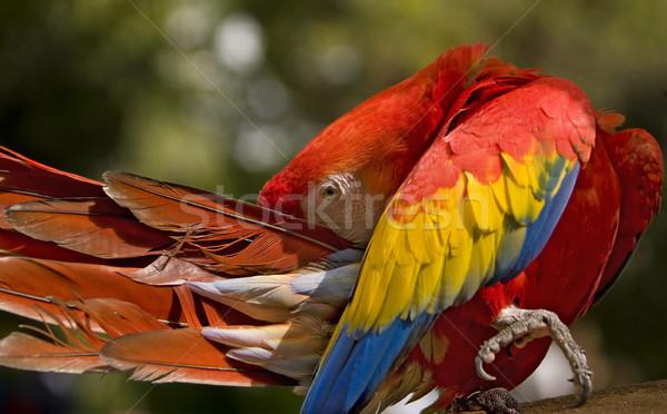 Scarlet Macaw Preening Stock photo © searagen