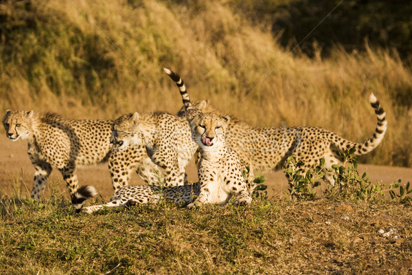 Four Cheetah On Safari Stock photo © searagen