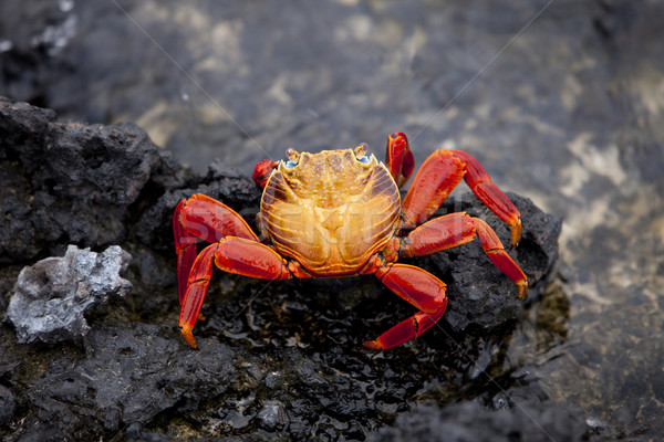 Sally Lightfoot Crab Stock photo © searagen
