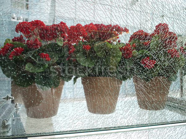 Stock photo: Cracked Glass With Geraniums