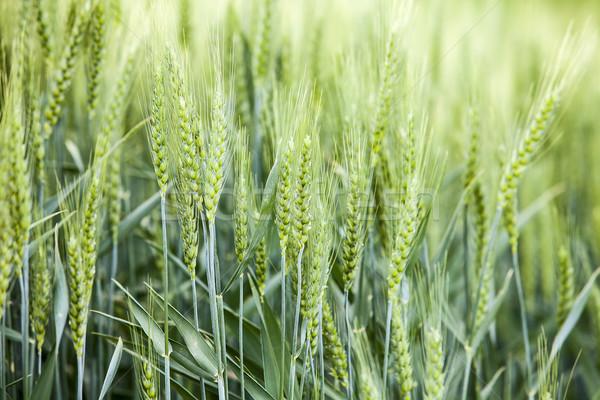Trigo cosecha detalle vista grano campo de trigo Foto stock © searagen