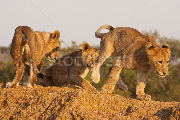 Három oroszlán játék fiatal büszkeség család Stock fotó © searagen