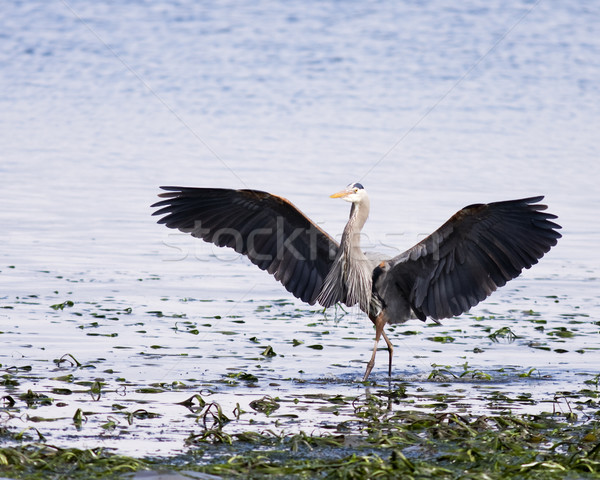 Great Blue Heron Wings Stock photo © searagen