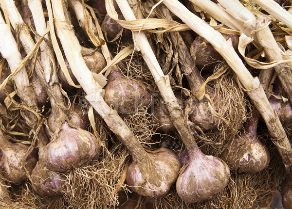 Organic Garlic Stock photo © searagen