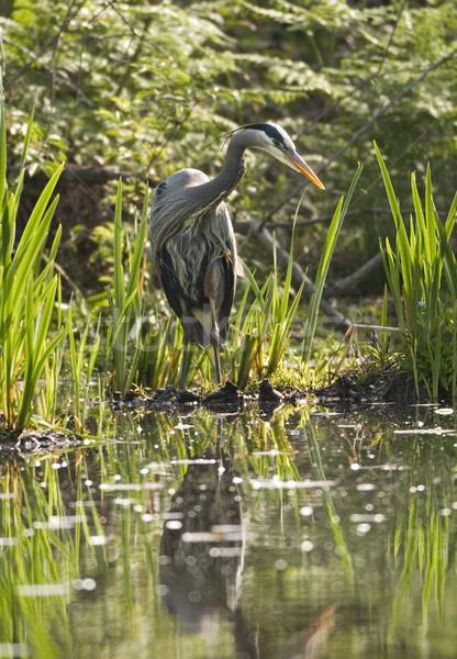 Great Blue Heron In Marsh Stock photo © searagen