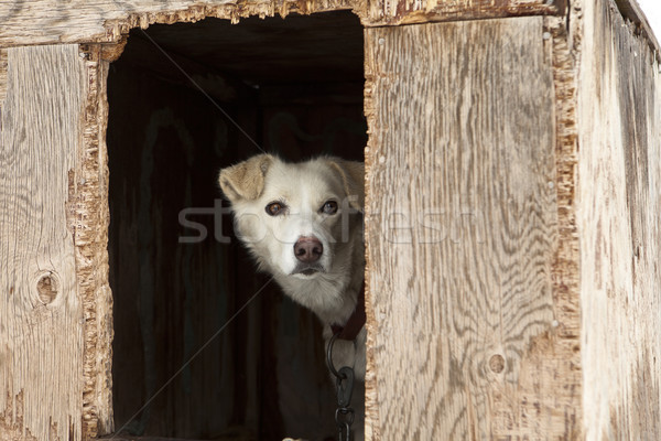 Sled Dog In Plywood Kennel Stock photo © searagen