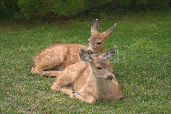 Two Fawns Resting On Grass Stock photo © searagen
