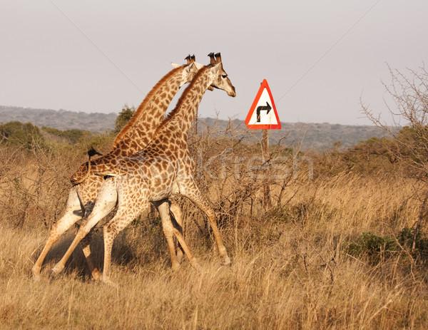 Stockfoto: Twee · giraffen · draaien · pijl · lopen