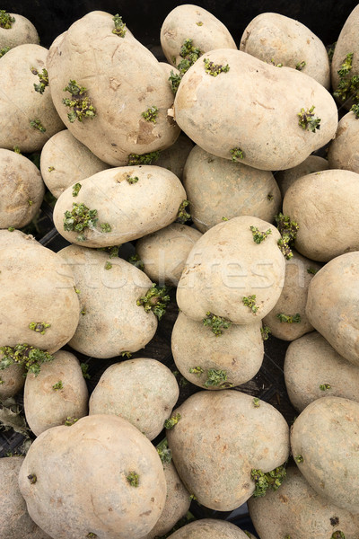 PIle Of Spud Potatoes Stock photo © searagen