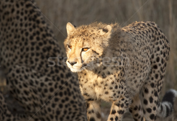Cheetah Cub In Sunlight Stock photo © searagen