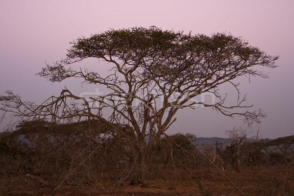 Acacia Tree At Dusk Stock photo © searagen