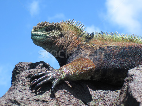 Colorful Marine Iguana On Rock Stock photo © searagen
