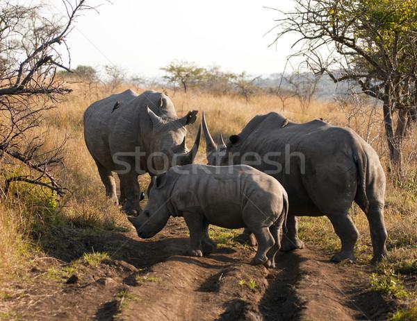 Rhinoceros Family Gathering Stock photo © searagen