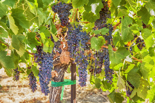 Ripe Syrah Grapes In The Vineyard Stock photo © searagen