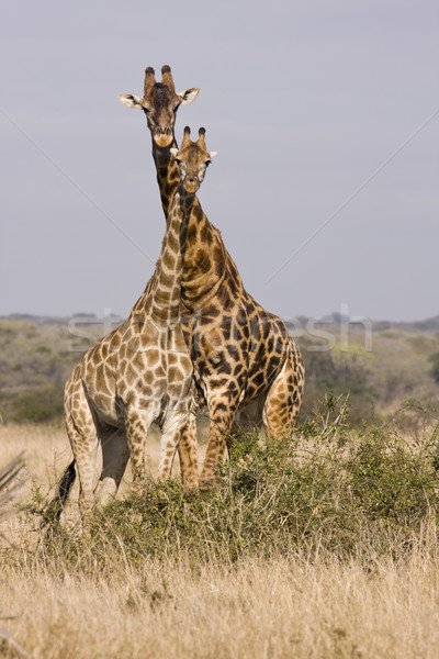 A Tower Of Giraffes Stock photo © searagen