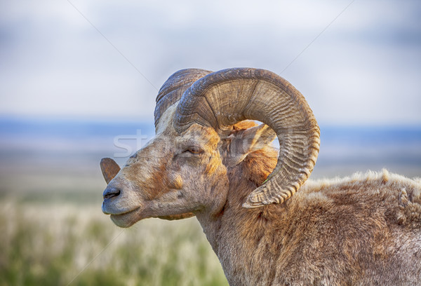 Male Bighorn Sheep With Horns Stock photo © searagen