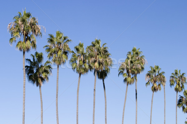 Row of Palm Trees Stock photo © searagen