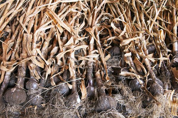 Stockfoto: Organisch · knoflook · rack · vol · gewas · drogen