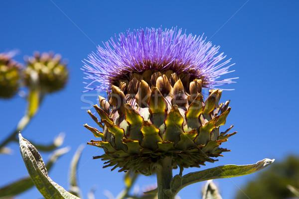 Flowering Artichoke Head Stock photo © searagen
