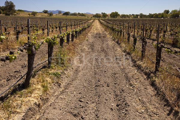 виноградник один долго полоса Сток-фото © searagen
