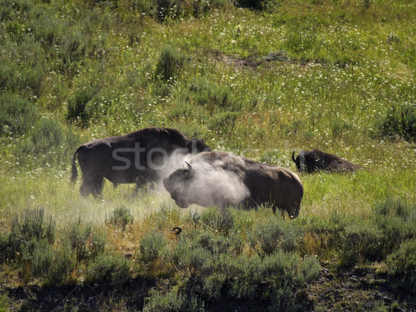 Buffalo Dust Wallow Stock photo © searagen