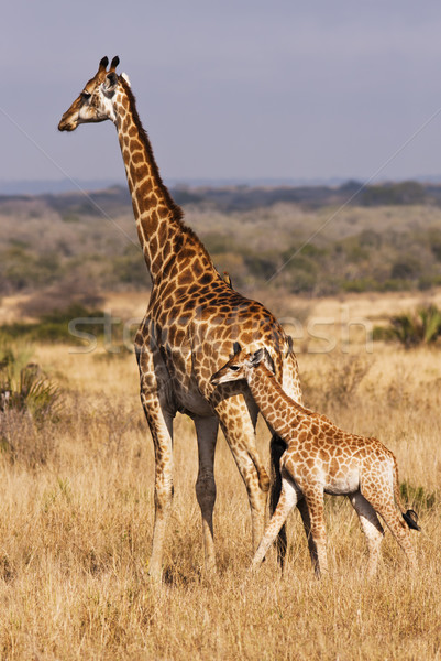 Young Giraffe With Mother Stock photo © searagen