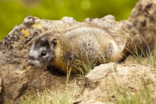 Baby Yellow-Bellied Marmot Stock photo © searagen