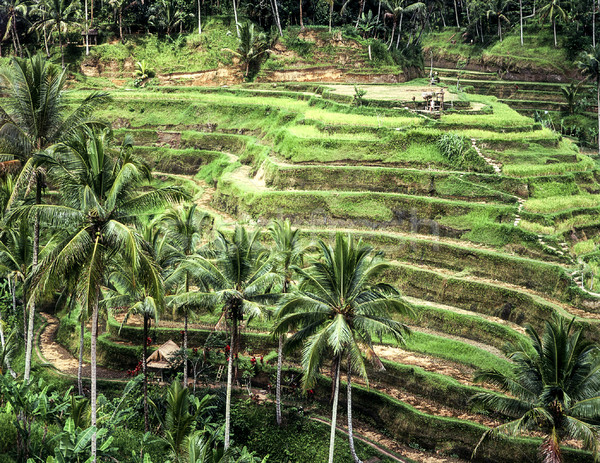 Terraced Rice Paddies On Bali Stock photo © searagen
