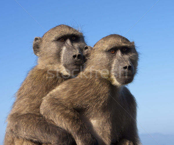 Two Baboons Together Stock photo © searagen