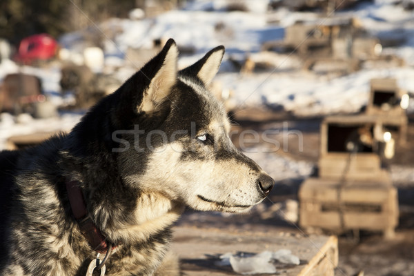 Sled Dog With White Eyes Stock photo © searagen