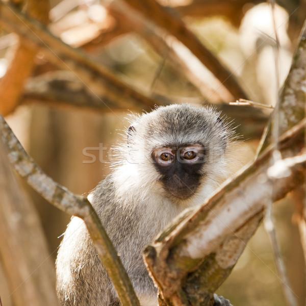 Vervet Monkey Watching Me Stock photo © searagen