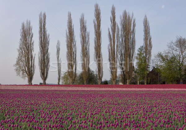 Tulips With Poplar Trees Stock photo © searagen