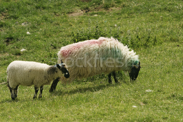 Irish Ewe and Lamb Stock photo © searagen